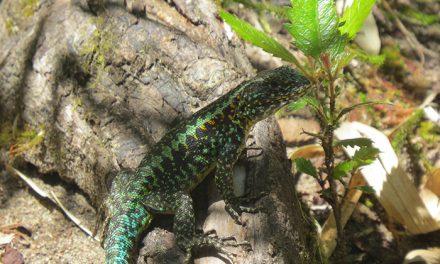 El calentamiento global podría ser letal para un lagarto patagónico