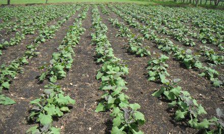 Las hojas de una planta andina podrían contribuir a tratar la diabetes