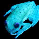 La rana punteada (Hypsiboas punctatus) - animal que habita en Argentina y otros países de Sudamérica - es el primer caso de fluorescencia en anfibios registrado por la ciencia. Créditos: Gentileza Julián Faivovich y Carlos Taboada. MACN-CONICET.