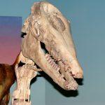 Cráneo de Macrauchenia patachonica en exhibición permanente del Museo de La Plata.  Créditos: FCNyM-UNLP
