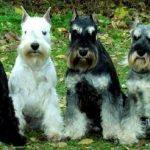 Los perros schnauzer miniatura son particularmente propensos a infecciones por ciertas micobacterias, que, en algunos casos, podrían transmitir a sus dueños.