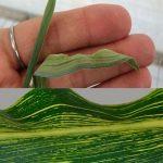 Síntomas causados por el virus en estudio en plantas de trigo (arriba) y maíz (abajo).