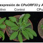 Mutaciones puntuales en el péptido CPuORF33 permitieron la sobreexpresión del gen AtHB1 y la producción consecuente de plantas con mayor número de hojas, tolerantes a la sequía y más longevas.