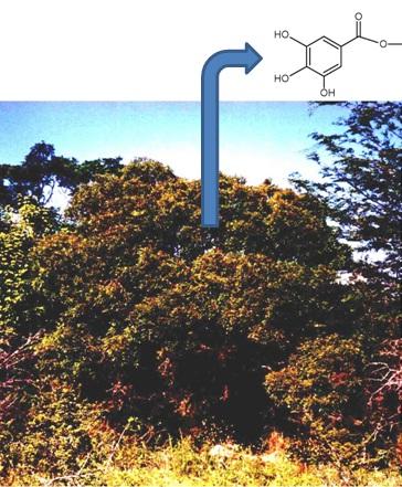 La planta autóctona argentina 'molle de beber' con la fórmula química del galato de metilo.
