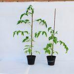 Diferencia entre planta sana (izq.) e infectada con el patógeno identificado por los científicos argentinos. Créditos: Fotos gentileza INTA