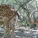 Foto tomada con cámara trampa de un grupo de ciervos en el bosque del Palmar, Entre Ríos.