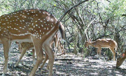 """Un ciervo """"importado"""" altera el ecosistema del Parque Nacional El Palmar"""
