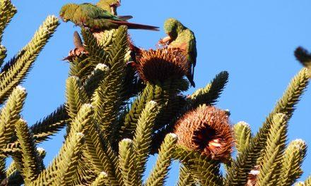 Una cotorra patagónica es vital para la supervivencia de la araucaria