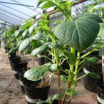 Los científicos argentinos lograron obtener una versión más robusta y con más tubérculos de las plantas de papa.