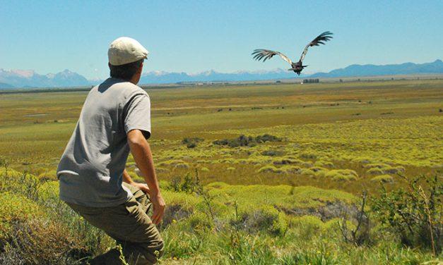 El Dr. Sergio Lambertucci - del Instituto de Investigaciones en Biodiversidad y Medio Ambiente, con sede en San Carlos de Bariloche - soltando un cóndor andino.