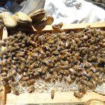 Los científicos de Mar del Plata descubrieron que una hormona vegetal protege el desarrollo de las larvas de abejas expuestas al frío y otras condiciones de estrés.