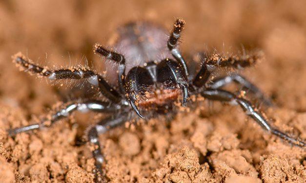 Establecen el parentesco de las arañas más venenosas del mundo