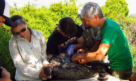 La escasez de comida empuja al cóndor andino desde Chile a la Argentina