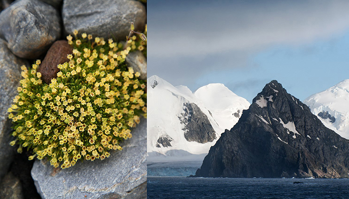 """Una de las dos plantas con flores de la Antártida """"esconde"""" un virus inesperado"""