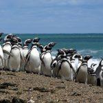 En Punta Tombo, los turistas se despejan, pero los pingüinos están estresados