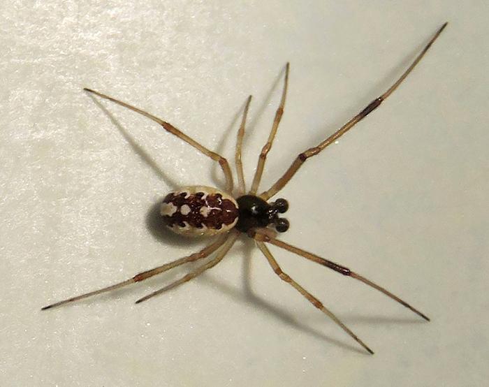"""Sorpresa: los machos de las """"arañas viudas"""" también pueden picar a humanos"""