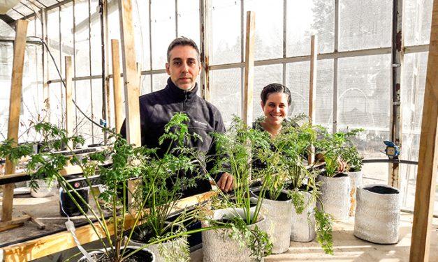 Científicos argentinos buscan el desarrollo de zanahorias más saludables