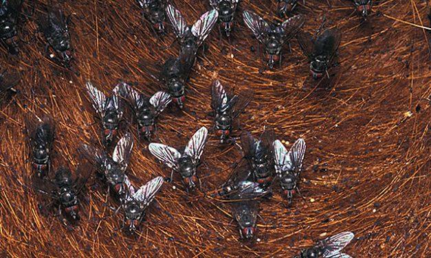 Exploran alternativas a los insecticidas contra la mosca de los cuernos
