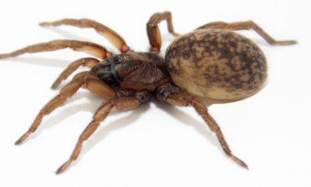Sorpresa: las hembras de una araña argentina transmiten señales por la seda para incentivar el cortejo de los machos