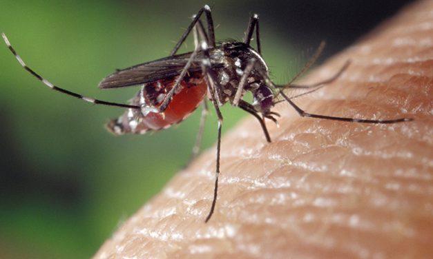Logran generar mosquitos inmunes al virus del dengue