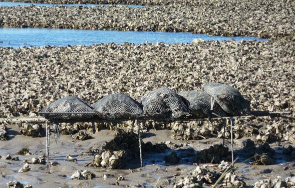 Detectan por primera vez un tipo de virus en ostras en Argentina