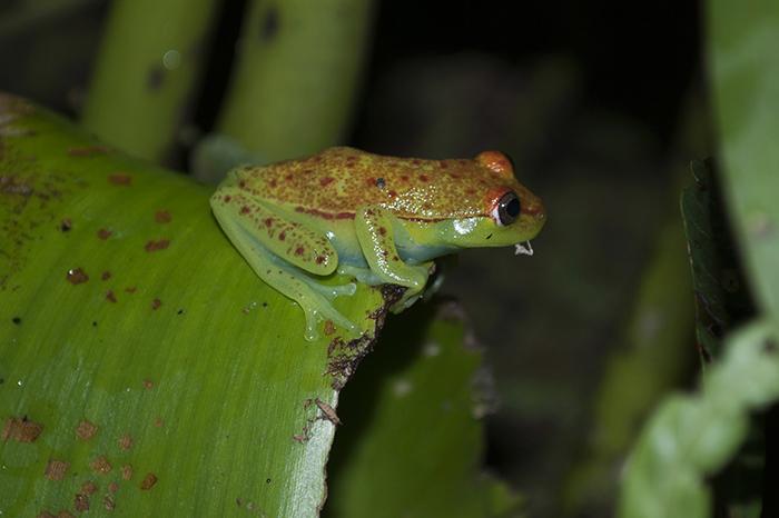 Estudio argentino: una nueva proteína explica las bases moleculares del camuflaje en ranas