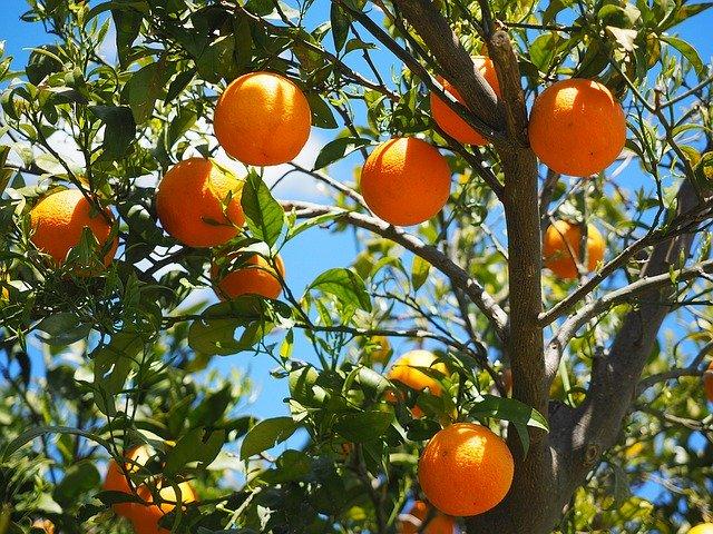 Identifican mecanismo genético clave en la producción de naranjas