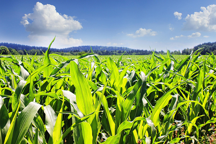 Hallan los mecanismos fisiológicos responsables de que el maíz tolere altas densidades de siembra
