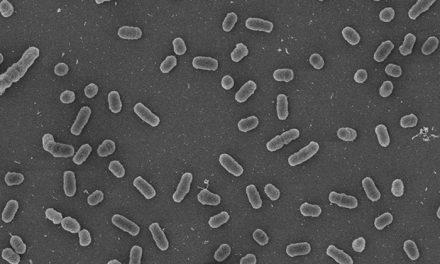 """Visualizan cómo la luz azul """"enciende"""" la virulencia de las bacterias de la brucelosis"""