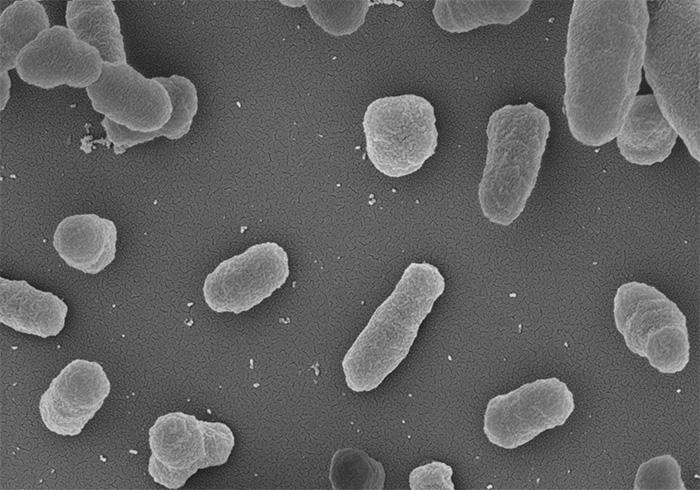 Identifican potenciales blancos terapéuticos para diferentes especies de la bacteria que produce la brucelosis