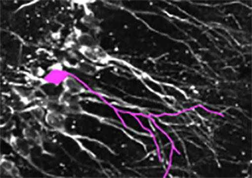 Identifican una proteína clave para la formación de memorias