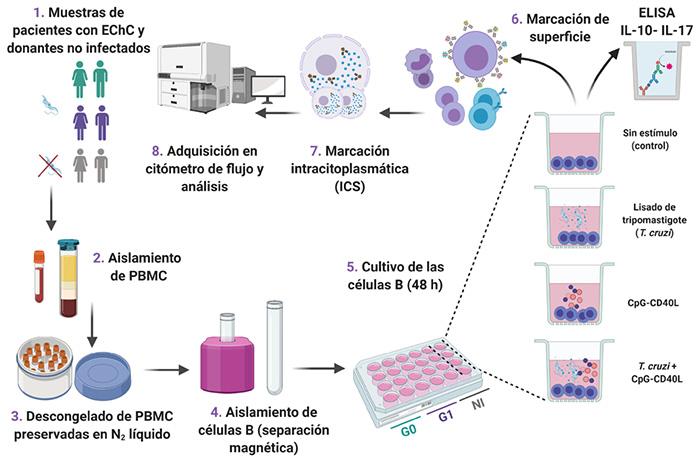 Un tipo de células del sistema inmune disminuye en los pacientes con Chagas crónico